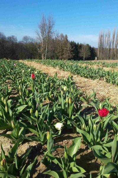 Tulpen selber schneiden Leichlingen